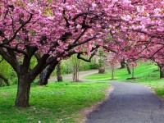 Собирать пазл Cherry blossoms онлайн