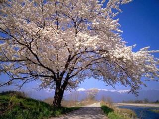 Собирать пазл flowering tree онлайн