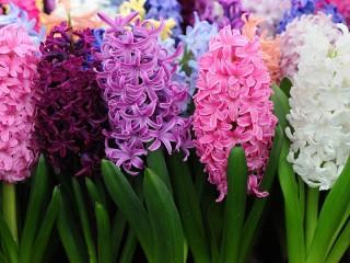 Собирать пазл Hyacinths in blossom онлайн