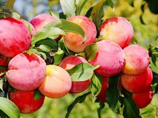 Собирать пазл Harvest plum онлайн