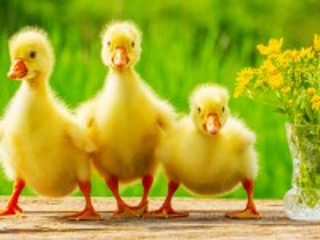 Собирать пазл Ducklings онлайн