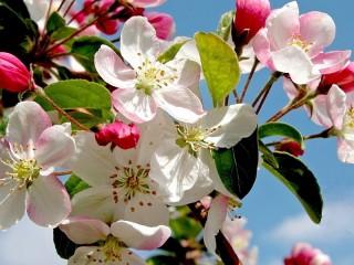 Собирать пазл Spring Apple tree онлайн