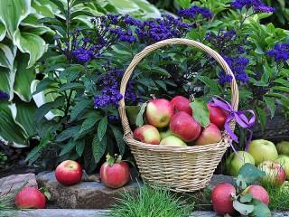 Собирать пазл Juicy apples  онлайн