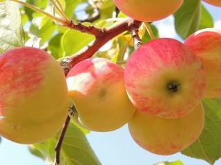 Собирать пазл Apples on a branch онлайн