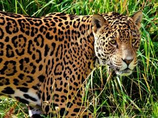 Собирать пазл Jaguar онлайн