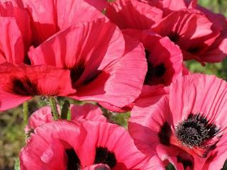 Собирать пазл Bright poppies онлайн