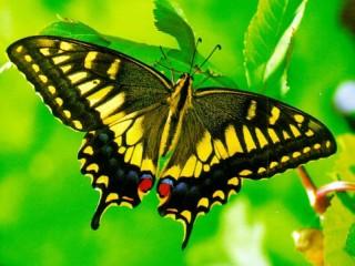 Собирать пазл Yellow butterfly онлайн