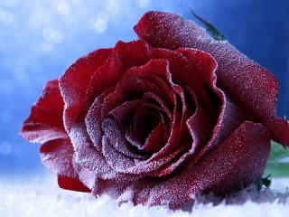 Собирать пазл Winter rose онлайн